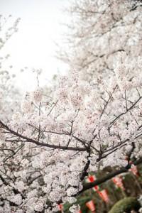JS721_sakuramaturi500-thumb-260xauto-2701